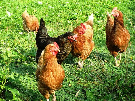 Chickens, Poultry, Agriculture, Pinnate, Farm