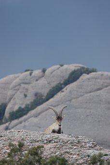 Ibex, Cabra Montés, Spanish Ibex, Spain, Montserrat