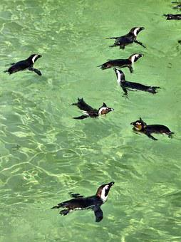 The Cap, Penguins, Birds, Spheniscus Demersus