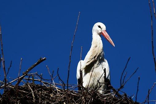 Stork, Nest, Storchennest, Bird, Nature, Animals