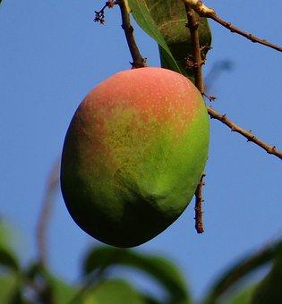 Mango, Mangifera Indica, Ripe, Fruit, Tropical Fruit