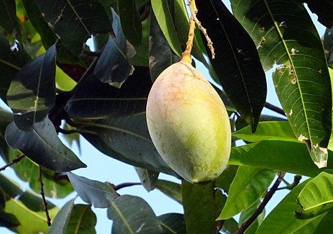 Mango, Fruit, Mangifera Indica, Tropical, Sweet
