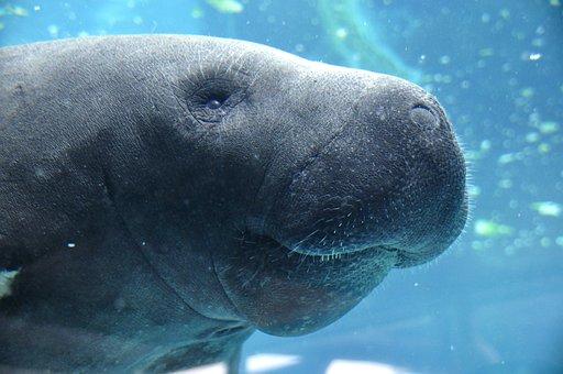 Manatee, Animal, Water, Blue, Underwater, Aquarium, Sea