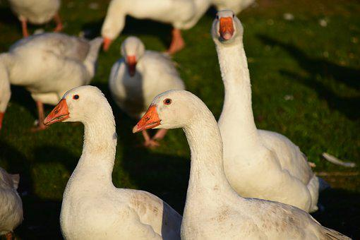 Geese, Geese Schaar, House Geese, White, Goose Meadow