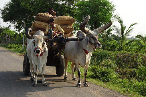 Bullock, Ox, Cart, Cattle, Kankrej, Indian, Breed