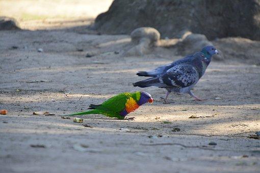 Australia, Bird, Brisbane, Animal, Wildlife, Native