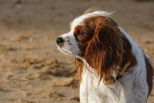 Dog, Cavalier King Charles, Cute, Animal, Purebred Dog