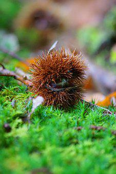 Fall, Bug, Nature, Bug Thorny, Chestnuts, Shell Thorny
