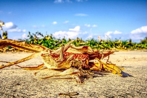 Corn, Harvested, Corn On The Cob, Ground, On The Ground