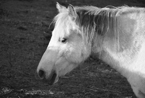 Horse, Equine, Photo Black White, Head Profile