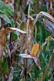 Corn, Harvest, Corn On The Cob, Autumn, Field
