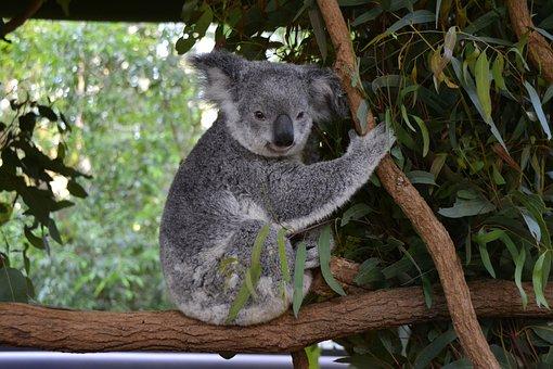 Australia, Koala, Brisbane, Animal, Wildlife, Native