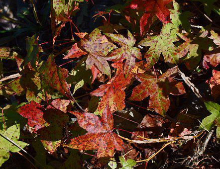 Fall Sweetgum Leaves, Foliage, Leaves, Tree, Plant