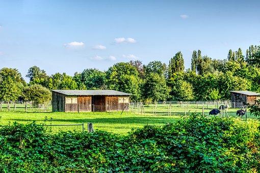 Ostrich, Ostrich Farm, Nature, Barn, Stall, Green