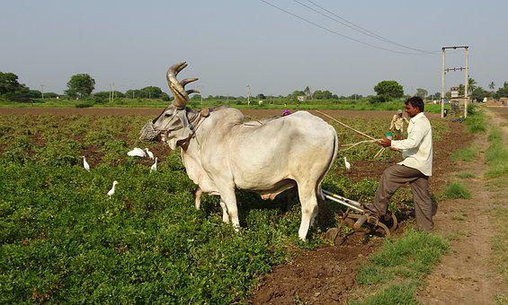 Bullock, Ox, Plough, Furrowing, Cattle, Kankrej, Indian