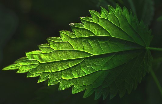 Plant, Leaf, Nettle, Stinging Nettle, Nettle Leaf