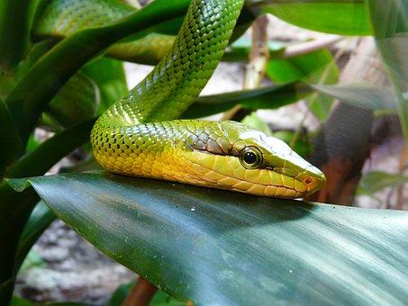 Hungary, Budapest, Zoo, Snake, Green Mamba, Green
