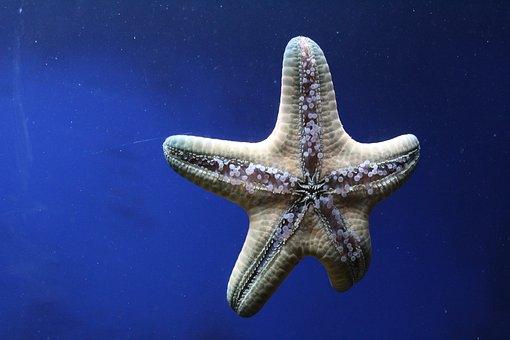 Sea Star, Spiny Skin, Aquatic Animal, Living, Nature