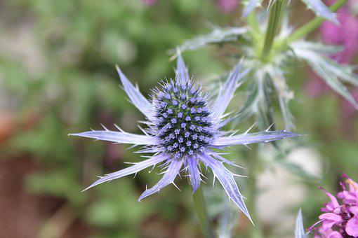 Thistle, Spiky Flower, Flower, Flora, Natural, Spiky
