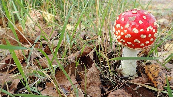 Mushroom, Fly Agaric, Nature, Autumn, Poison, Toxic