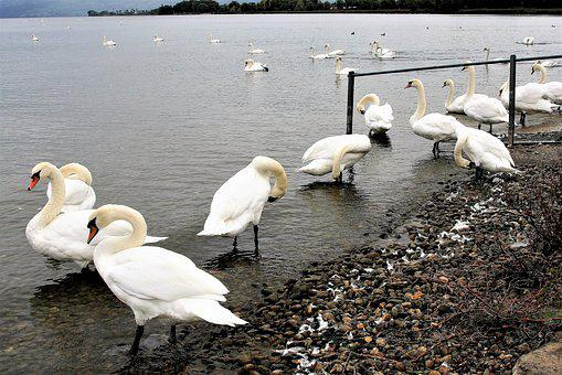 Wild Birds, Herd, Lake, White, Swan, Bodensee, Beach
