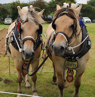 Shire Horse, Harness, Animal, Equine, Draught, Horse