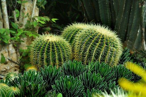 Cactus, Green, Sharp, Nature, Plant, Flower, Natural