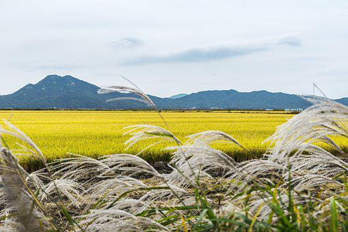 Korea, Incheon, Ganghwado, Landscape, Travel, Cosmos
