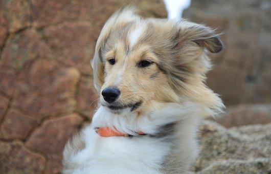 Dog, Pup, Shetland Sheepdog Head, Portrait