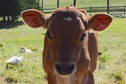 Cow, Portrait, Farm, Animal, Mammal, Domestic, Face