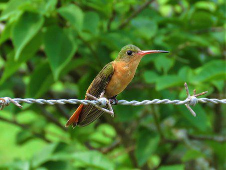 Hummingbird, Bird, Perched On A Wire
