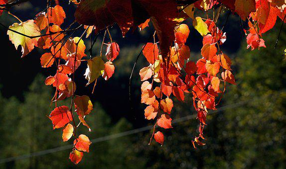 Vine, Wine Partner, Leaves, Autumn, Leaf, Red