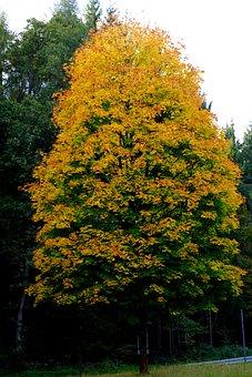 Tree, Deciduous Tree, Autumn, Leaves, Nature