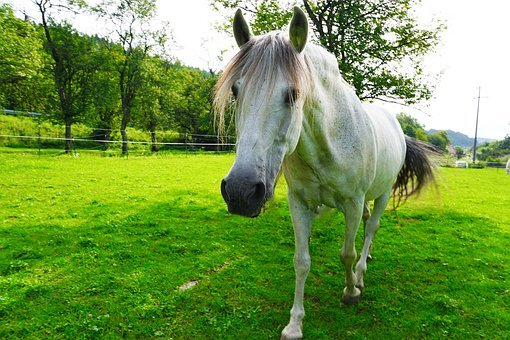 Horse, White, Mold, Animal, Pasture, Nature, Coupling