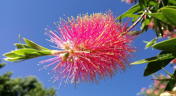 Callistemon, Tree, Bottlebrush Flower, Pink, Blue Sky