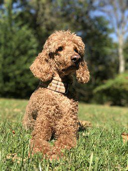 Poodle, Dog, Red, Apricot, Brown, Fur, Curly, Animal