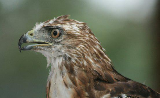 Red Tail, Hawk, Bird, Nature, Wildlife, Predator