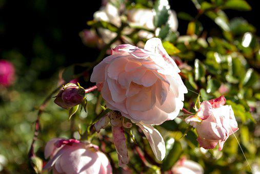 Rose, Flower, Nature, Rose Blooms, Bush Florets Pink