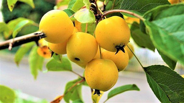 Ornamental Apple, Heavenly Apples, Small, Apples