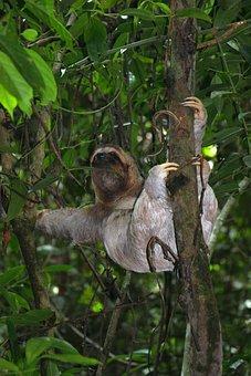 Sloth, Three Finger Sloth, Jungle, Tree, Forest, Lazy