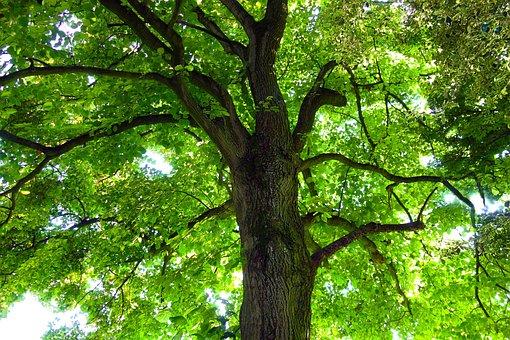 Tree, Trunk, Tree Trunk, Tree Top, Branch, Foliage
