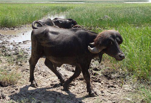 Buffalo, Bull, Stud, Bovine, Cattle, Water Buffalo