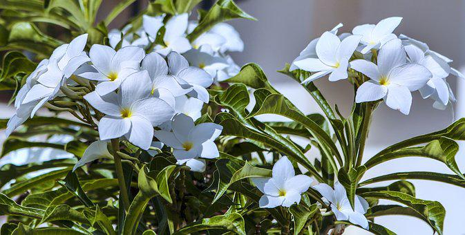 Flower, Jasmine, White, Love, Greeting, Floral, Nature