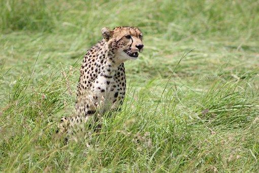 Cheetah, Safari, Wild Life, Masai Mara