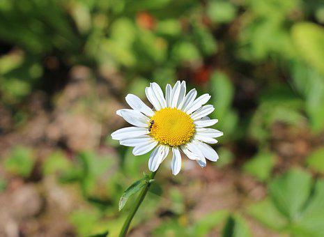 Flower, Marguerite, Yellow, White, Ant, Plant, Spring