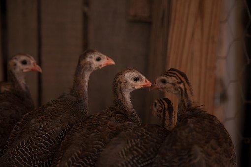 Fowl, Guinea, Bird, Barnyard, Animal, Hen, Feather