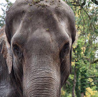 Elephant, Animal, Portrait, Nature, Pachyderm