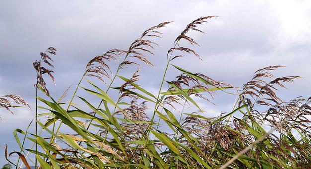 Reed, Waters Edge, Embankment, Autumn, Infructescence