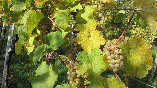 Grapevine, Autumn, Winegrowing, Vineyard, Wine, Nature