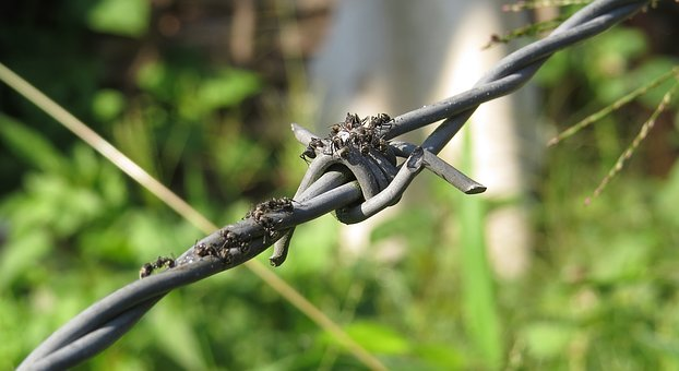 Insect, Ants, Sweet, Barbed Wire Is, Colombia